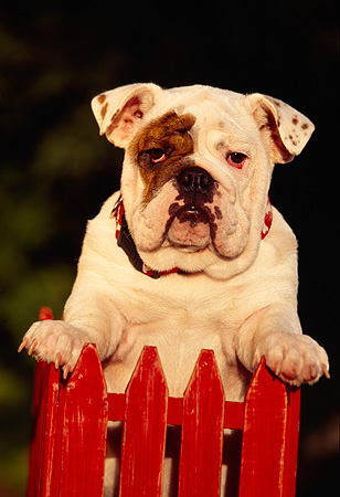 PUP 18 RK0029 01 © Kimball Stock Head Shot Of English Bulldog Puppy Leaning Over Red Fence