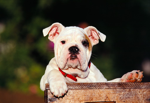 PUP 18 RK0044 04 © Kimball Stock Head Shot OfEnglish Bulldog Puppy Sitting In Wooden Box