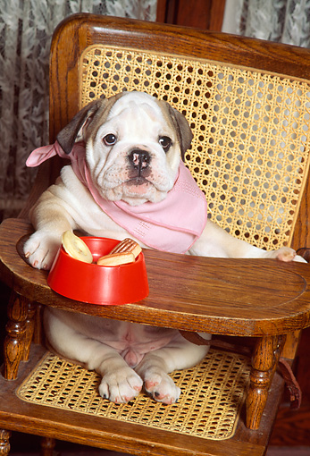 PUP 18 RK0071 02 © Kimball Stock Humorous English Bulldog Puppy Sitting In Highchair Wearing Bib