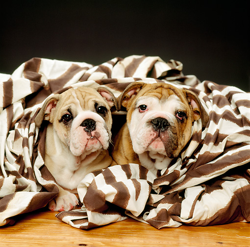 PUP 18 RK0103 07 © Kimball Stock Two English Bulldog Puppies Laying Wrapped In Striped Sheet Studio