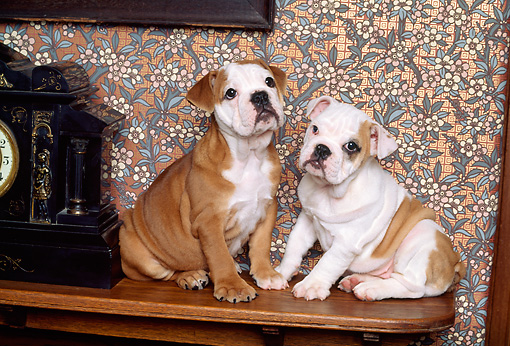 PUP 18 RK0106 14 © Kimball Stock Two English Bulldog Puppies Sitting On Mantle By Clock