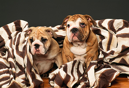 PUP 18 RK0120 01 © Kimball Stock Two English Bulldogs Sitting With Zebra Print Blanket