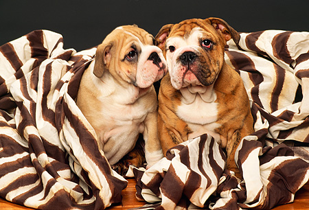 PUP 18 RK0120 04 © Kimball Stock Two English Bulldogs Sitting With Zebra Print Blanket