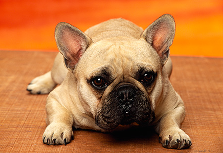 PUP 18 RK0122 01 © Kimball Stock Close Up Head Shot Of French Bulldog Puppy Laying And Facing Camera Sunset Background