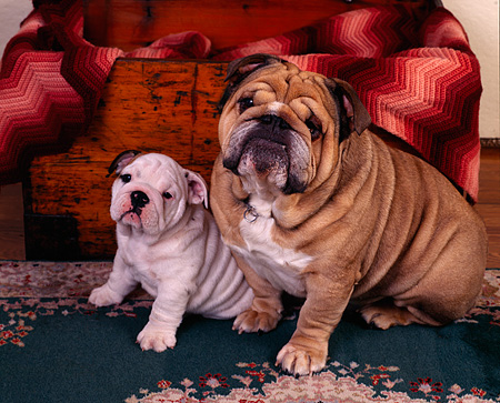 PUP 18 RK0126 02 © Kimball Stock Mom And Puppy Bulldog Sitting Together On Green Oriental Rug