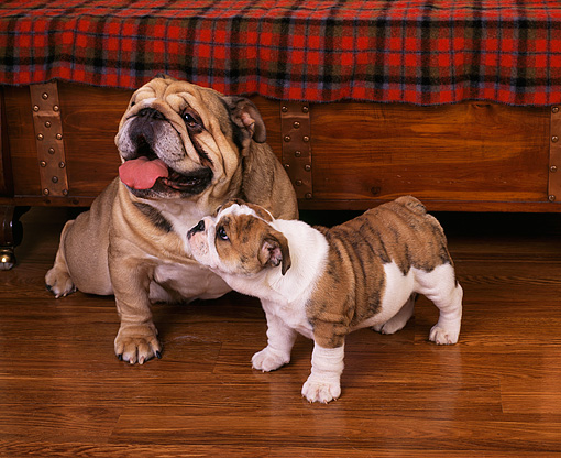 PUP 18 RK0128 05 © Kimball Stock English Bulldog Mother Sitting By Puppy On Wooden Floor By Furniture