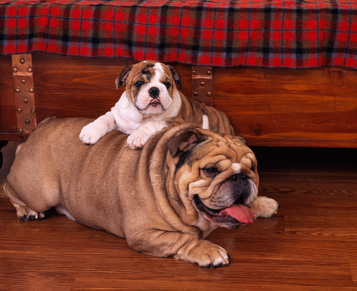 PUP 18 RK0130 01 © Kimball Stock Bulldog Puppy Laying On Top Of Mom On Wooden Floor By Chest And Red Plaid Blanket
