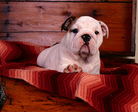 PUP 18 RK0133 04 © Kimball Stock Head Shot Of Bulldog Puppy Sitting In Dresser Drawer With Blanket Facing Camera