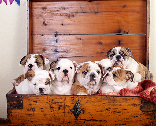 PUP 18 RK0135 10 © Kimball Stock Six English Bulldog Puppies Sitting In Chest