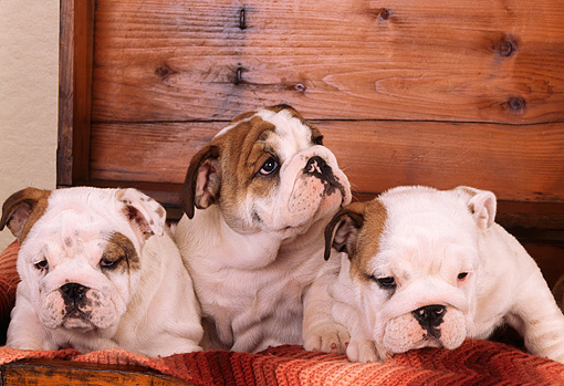 PUP 18 RK0137 02 © Kimball Stock Group Of English Bulldog Puppies Sitting In Wooden Chest