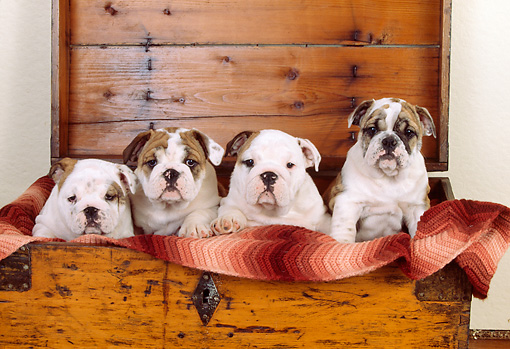 PUP 18 RK0137 14 © Kimball Stock Group Of English Bulldog Puppies Sitting In Wooden Chest