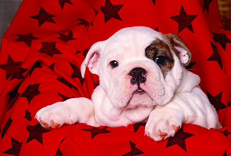 PUP 18 RK0139 06 © Kimball Stock Head Shot Of Bulldog Puppy In Red And Black Star Blanket