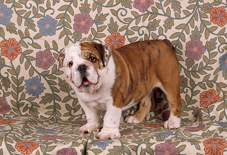 PUP 18 RK0141 03 © Kimball Stock Bulldog Standing On Floral Print Background
