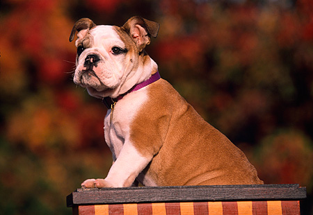 PUP 18 RK0190 02 © Kimball Stock Profile View Of English Bulldog Puppy Standing In Box