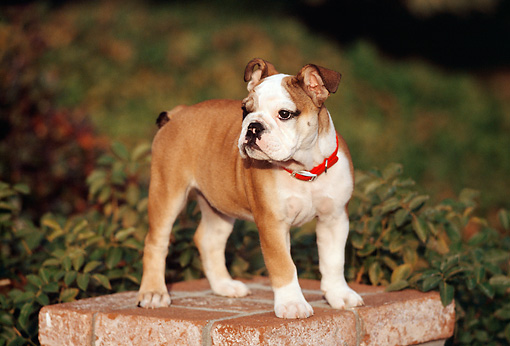 PUP 18 RK0196 01 © Kimball Stock English Bulldog Standing On Brick Pedestal By Shrubs