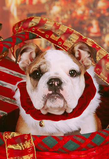 PUP 18 RK0207 08 © Kimball Stock Head Shot Of English Bulldog In Christmas Basket With Decorations