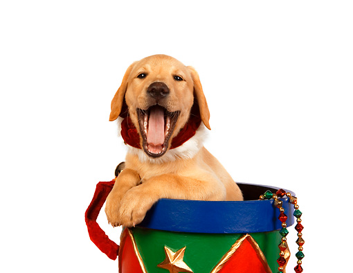 PUP 18 RK0210 01 © Kimball Stock Head Shot Of Yellow Labrador Retriever Puppy In Christmas Drum Studio