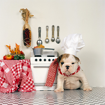 PUP 18 RS0001 01 © Kimball Stock Humorous Shot Of Bulldog Puppy In Chef Hat In Kitchen