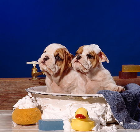 PUP 18 RS0003 01 © Kimball Stock Two Bulldog Puppies In Bathtub