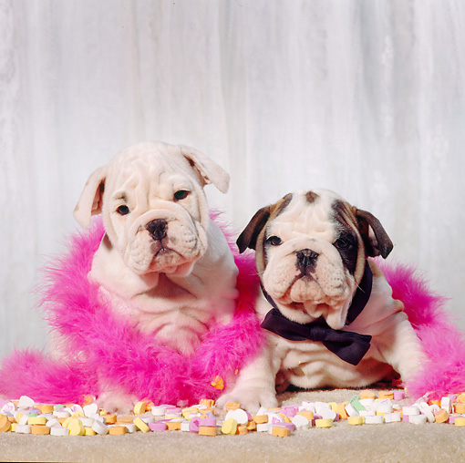 PUP 18 RS0013 01 © Kimball Stock Portrait Of Two Bulldog Puppies Wearing Boa By Heart
