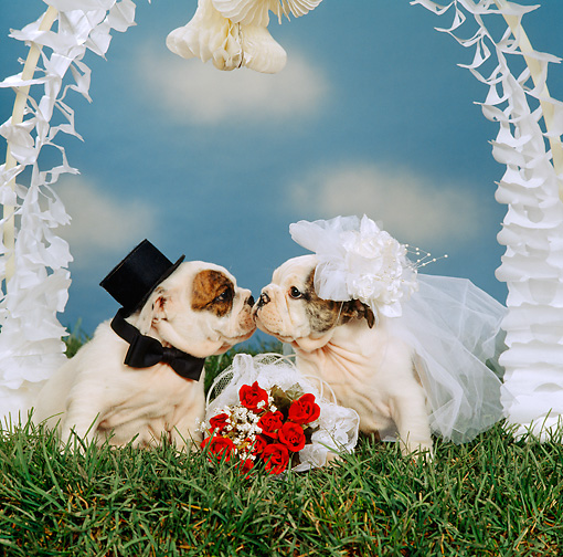 PUP 18 RS0016 01 © Kimball Stock Portrait Of Bride And Groom Bulldog Puppies Getting Married