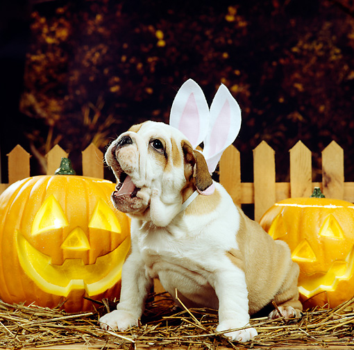 PUP 18 RS0029 02 © Kimball Stock Portrait Of Bulldog Puppy Wearing Rabbit Ears By Pumpkins