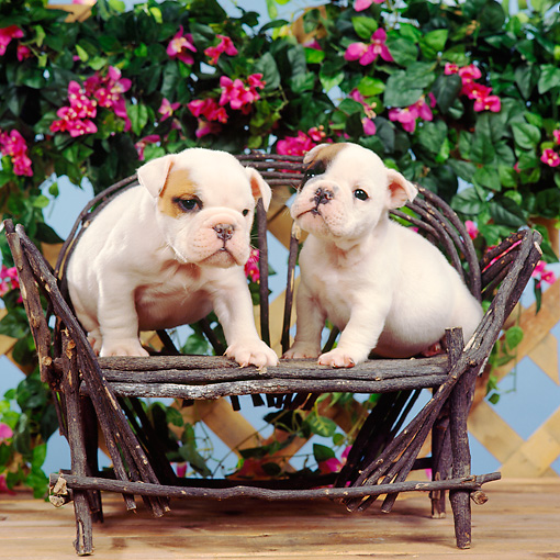 PUP 18 RS0032 04 © Kimball Stock Portrait Of Two Bulldog Puppies In Chair By Flowers