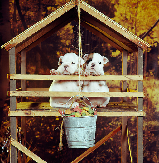 PUP 18 RS0035 04 © Kimball Stock Two Bulldog Puppies In Tree Fort