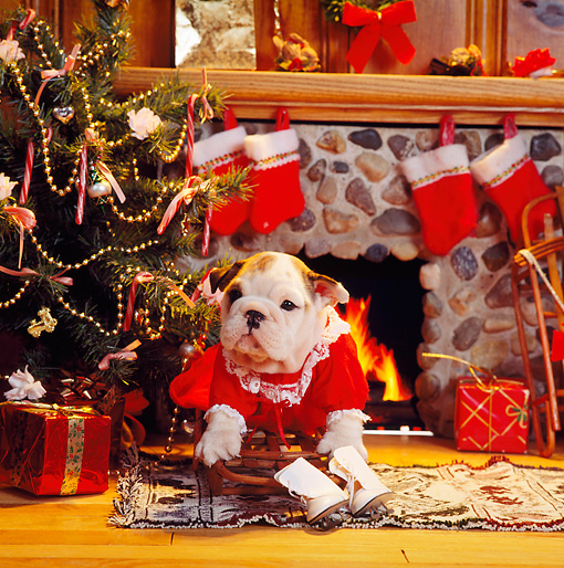 PUP 18 RS0059 02 © Kimball Stock Girl Bulldog Puppy By Fireplace Christmas Setting