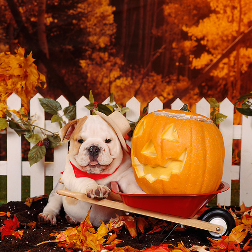 PUP 18 RS0065 01 © Kimball Stock English Bulldog Puppy In Hat And Bandana Fall Setting
