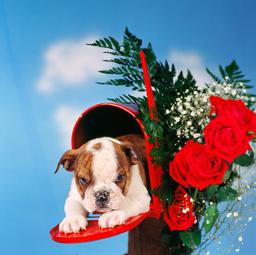 PUP 18 RS0067 02 © Kimball Stock English Bulldog Puppy Laying In Mailbox By Roses Studio