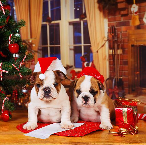 Two English Bulldog Puppies Christmas Setting | Kimballstock