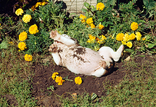 PUP 18 RS0077 02 © Kimball Stock English Bulldog Puppy Rolling Around In Dirt In Flower Garden
