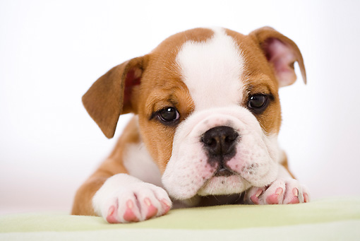 PUP 18 YT0004 01 © Kimball Stock Bulldog Puppy Laying On White Pillow