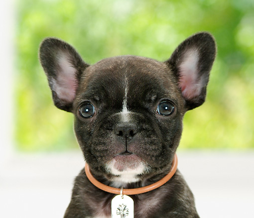PUP 18 YT0007 01 © Kimball Stock Head Shot Of French Bulldog Puppy