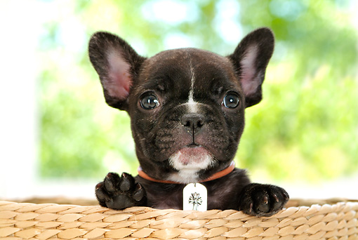 PUP 18 YT0008 01 © Kimball Stock Head Shot Of French Bulldog Puppy Sitting In Basket