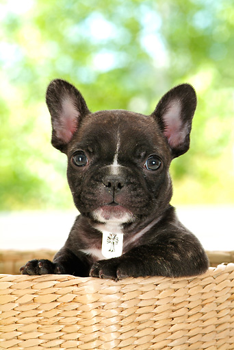 PUP 18 YT0009 01 © Kimball Stock French Bulldog Puppy Sitting In Basket