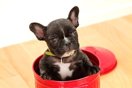 PUP 18 YT0010 01 © Kimball Stock French Bulldog Puppy Sitting In Red Garbage Can