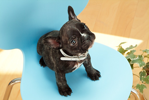 PUP 18 YT0011 01 © Kimball Stock French Bulldog Puppy Sitting On Blue Chair