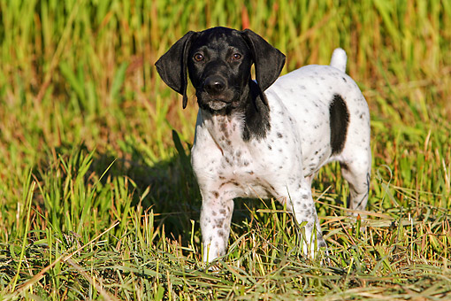 PUP 19 DB0001 01 © Kimball Stock German Shorthaired Pointer Puppy Standing In Field