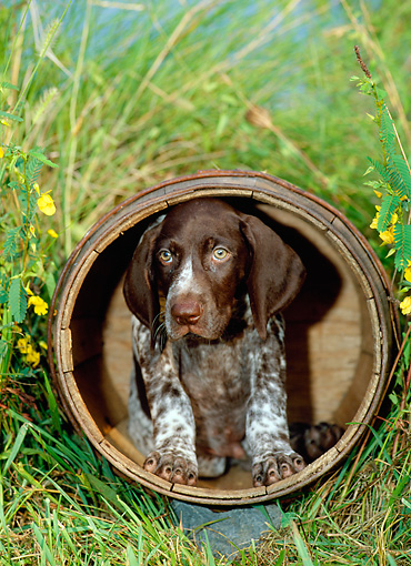 PUP 19 CE0001 01 © Kimball Stock German Shorthaired Pointer Puppy Sitting In Barrel In Tall Grass