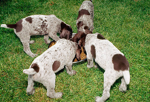 PUP 19 CE0002 01 © Kimball Stock Four German Shorthaired Pointer Puppies Eating From Dish On Grass