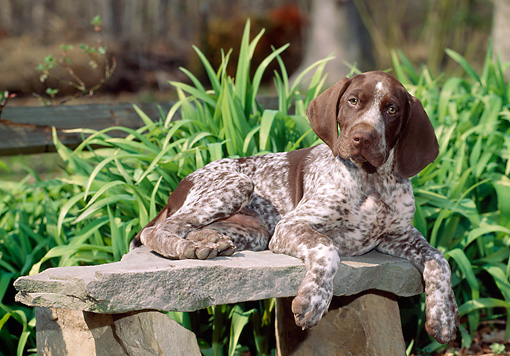 PUP 19 CE0003 01 © Kimball Stock German Shorthaired Pointer Puppy Laying On Stone Bench By Foliage