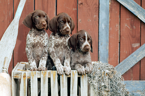 PUP 19 CE0004 01 © Kimball Stock Three German Shorthaired Pointer Puppies Standing In Crate By Boathouse Oar Buoy