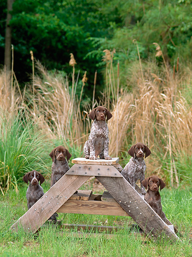 PUP 19 CE0005 01 © Kimball Stock Five German Shorthaired Pointer Puppies Sitting On Wooden Steps By Tall Grass Trees