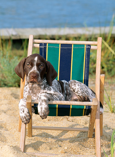PUP 19 CE0006 01 © Kimball Stock German Shorthaired Pointer Puppy Laying On Beach Chair By Water Sand
