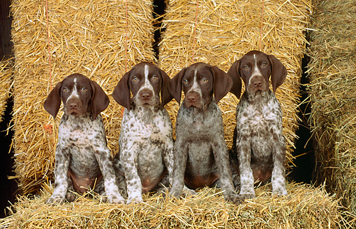 PUP 19 CE0007 01 © Kimball Stock Four German Shorthaired Pointer Puppies Sitting On Hay Bale