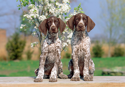 PUP 19 CE0008 01 © Kimball Stock Two German Shorthaired Pointer Puppies Sitting On Bench By Flowering Tree