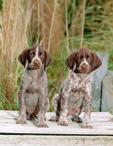 PUP 19 CE0009 01 © Kimball Stock Two German Shorthaired Pointer Puppies Sitting On Wooden Box By Tall Grasses