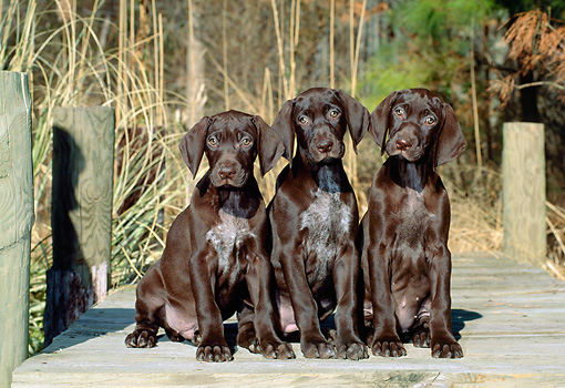 PUP 19 CE0010 01 © Kimball Stock Three German Shorthaired Pointer Puppies Sitting On Dock By Tall Grasses